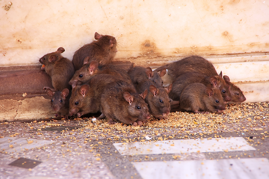 property-records-inc-rat-infestation